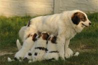 tornjak, šarplaninci, samočistiaca srsť, pastiersky pes,