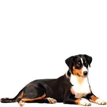 Apenzelský salašný pes