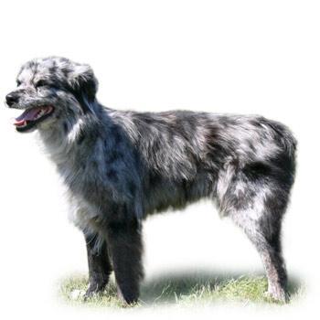 Pyrenejský ovčák s krátkou srstí v obličeji