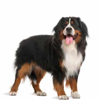 Bernský salašnícky pes