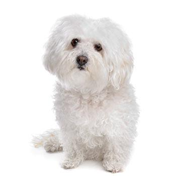 Boloňský psík