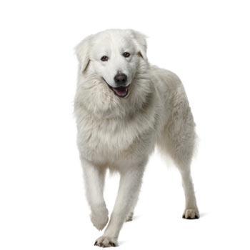 Maremmansko - abruzský pastevecký pes