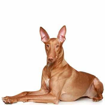Faraónský pes