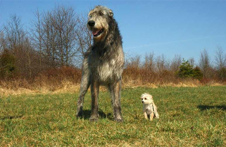 10e2a747eb2 Většina obřích psích plemen má za sebou pestrou historii dlouhou více jak  dva tisíce let. Patří mezi zcela nejstarší plemena na světě.
