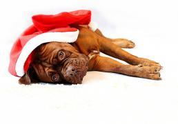 Pes, Vánoce a cukroví aneb čím můžeme našemu psovi ublížit
