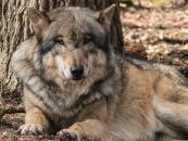 Vlčí plemena: Československý vlčák, Saarloosův vlčák, Northern Inuit Dog,...