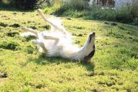 Prečo niektorí psi znášajú teplo horšie?