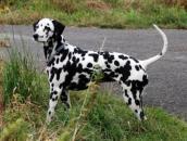Dalmatin - obrázky, informace o plemenu