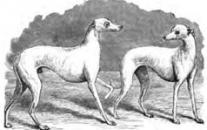Chrti jsou mezi ostatními psy poměrně snadno rozeznatelní.