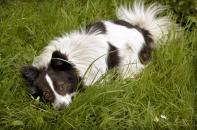 Pes žere trávu, nedostatečná strava, nevolnost a žaludeční problémy