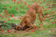 Vlci zahrabávali svoju potravu, Pes zahrabáva jedlo aj hračky, Zahrabávanie výkalov