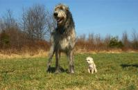 Najväčšie plemená: Anglický mastif, Anatolský pastiersky pes, Írsky vlkodav,...