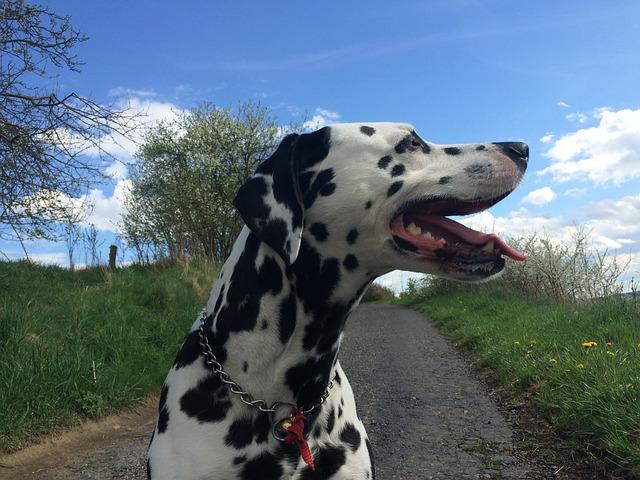 Dalmatin potřebuje dostatek pohybu
