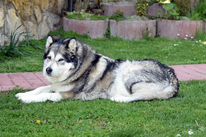 Aljašský malamut leží na trávě