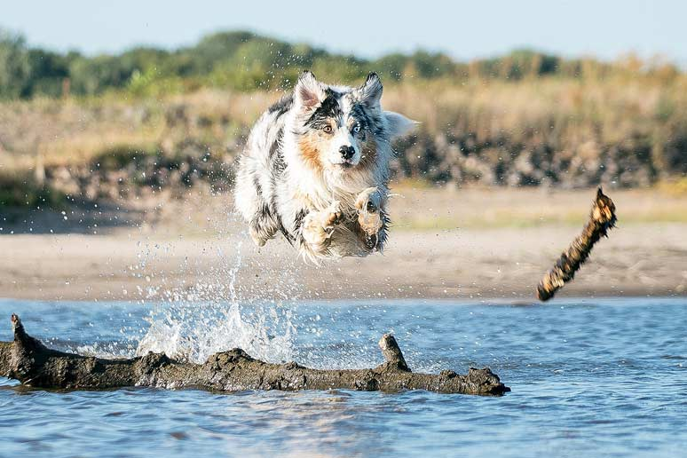 Australský ovčák potřebuje dostatek pohybu