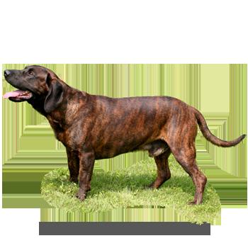 8562c2d7e3b Bavorský barvář - atlas psů