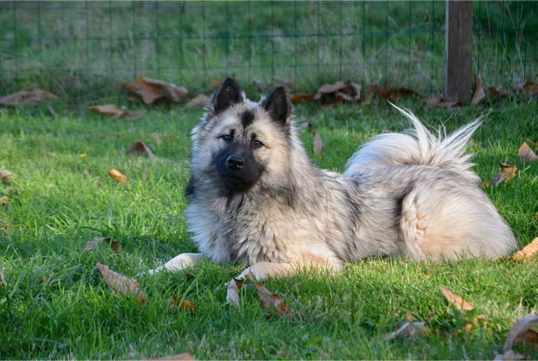Eurasier v trávě