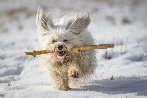 Havanský psík aportuje