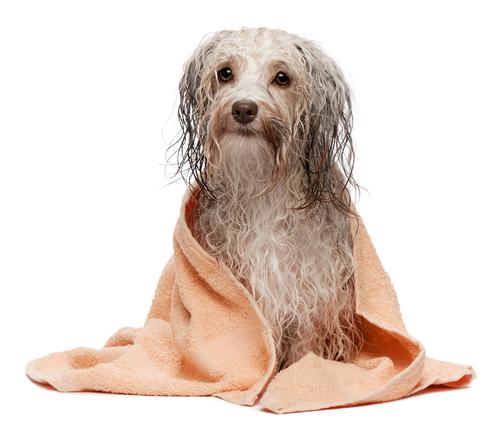 Čokoládový Havanský psík - po koupeli