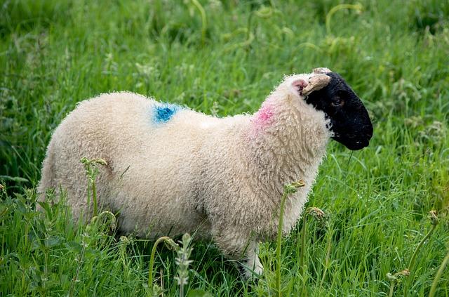Skotská ovce colle