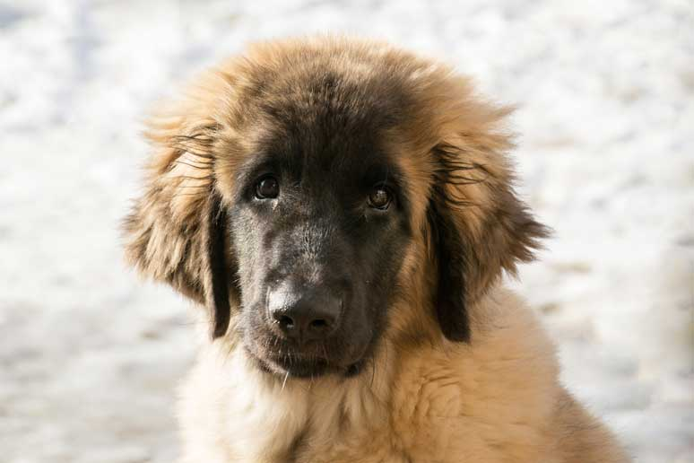 Leonberger štěně