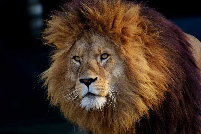 Lev je podobný Leonbergovi