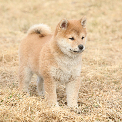 Shiba-Inu štěně