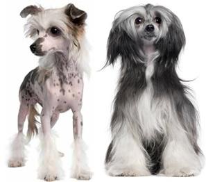 Čínský chocholatý pes a labutěnka