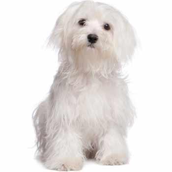 Maltezský psík