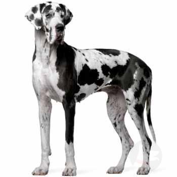 Německá dog