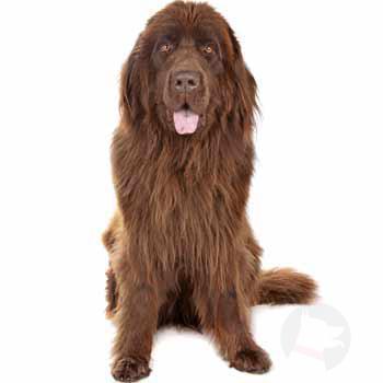 Novofundalský pes