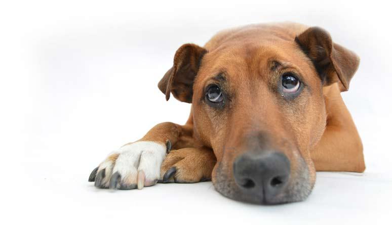 Vakcinace psů