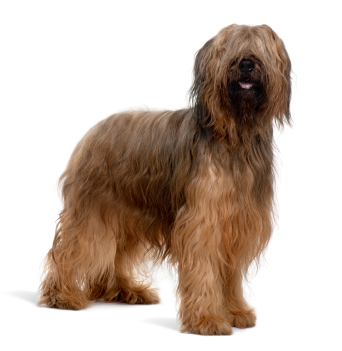 Dospelý pes Briard