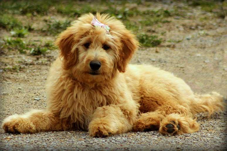 šteňa Goldendoodle