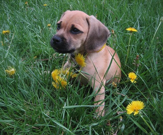 Puggle štěně