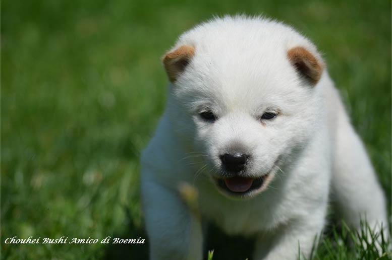 Biele šteniatko Hokkaido ken
