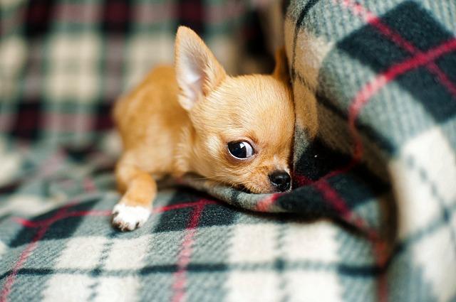 Maličká čivava - štěňátko