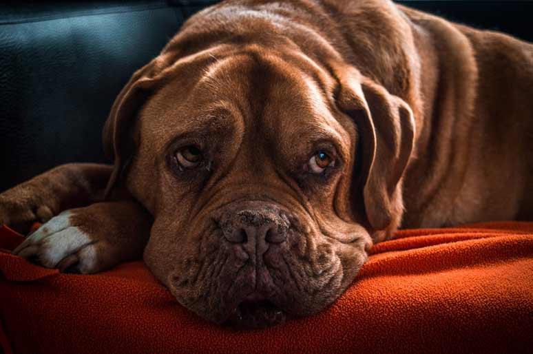 Pes v bytě