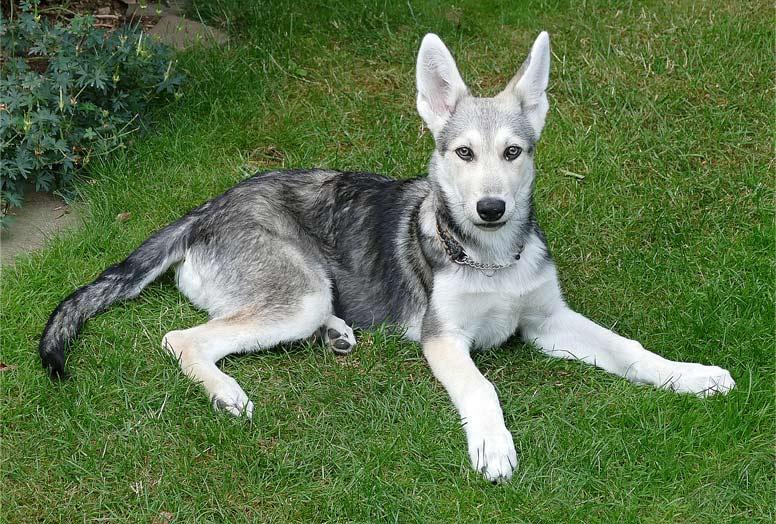 Saarloosův vlčák - štěně