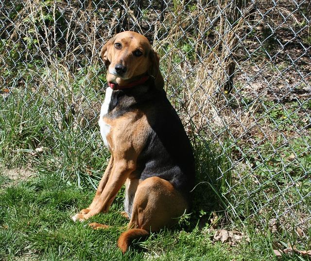 Americký foxhound