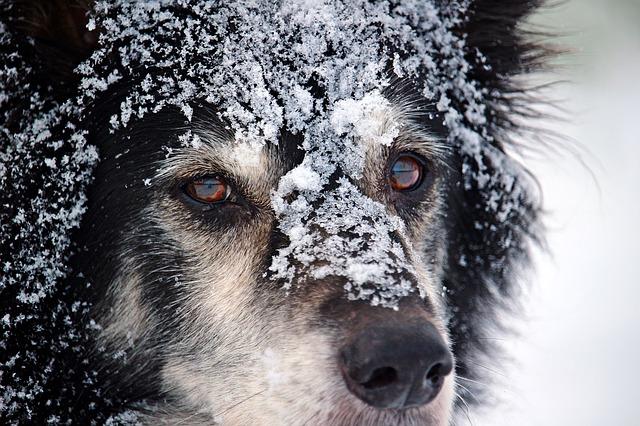 Border kolie ve sněhu