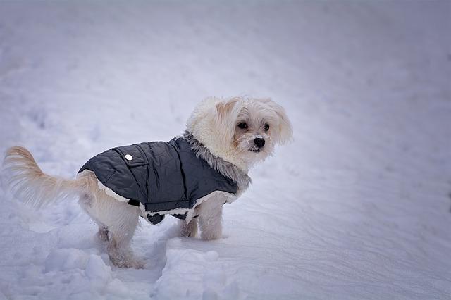 Maltezáček v zimním oblečku