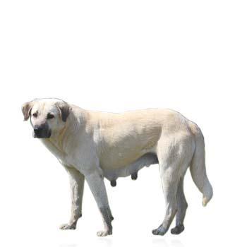Anatolský pastiersky pes