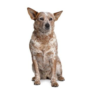 Australský honácký pes s krátkým ocasem