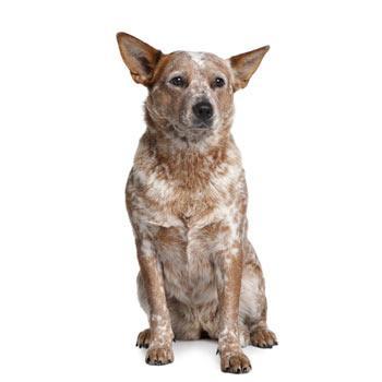 Austrálsky honácký pes s krátkým ocasom