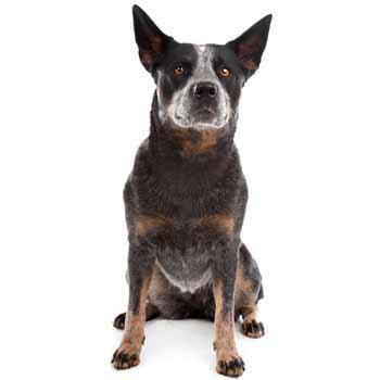 Austrálsky honácký pes