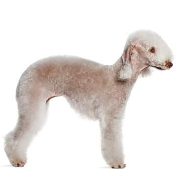 Bedlington terier