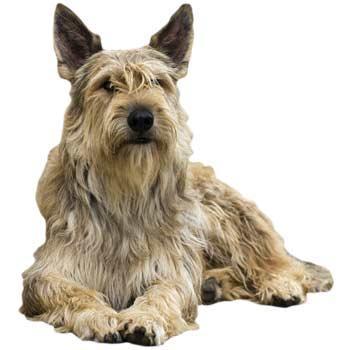Pikardský ovčiarsky pes