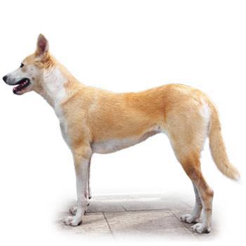Kanaánský pes (Canaanský pes)