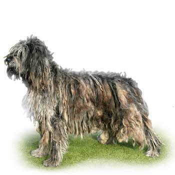 Bergamský ovčiak